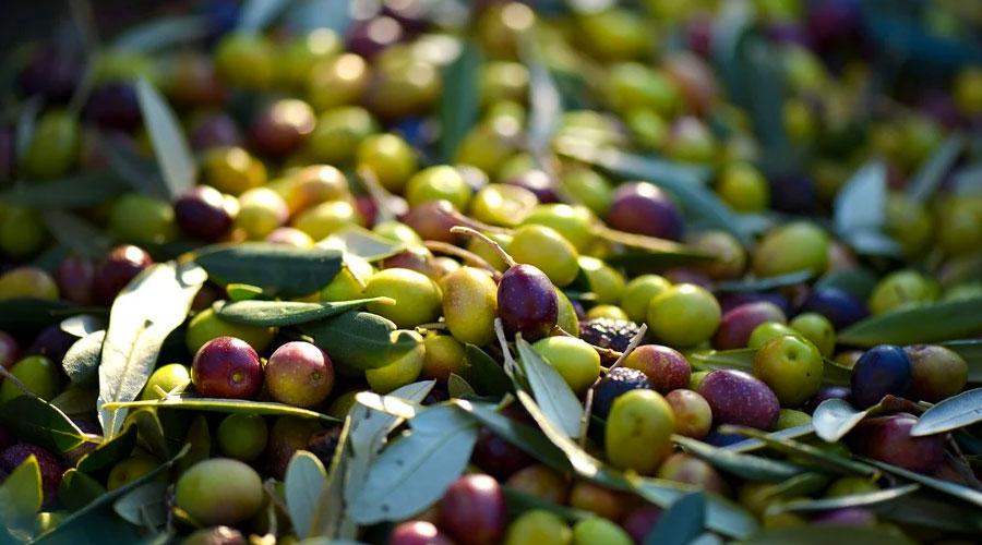 Raccolta delle olive dall'albero